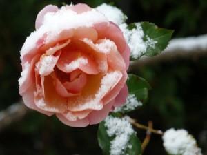 Rose gefrostet_klein